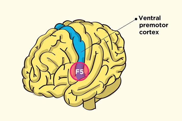 Ventral-premotor-cortex-