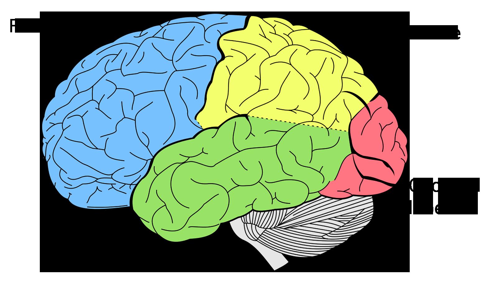 QBI-brain-lobes-neuroscience