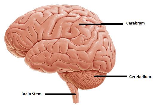brain1_DOC