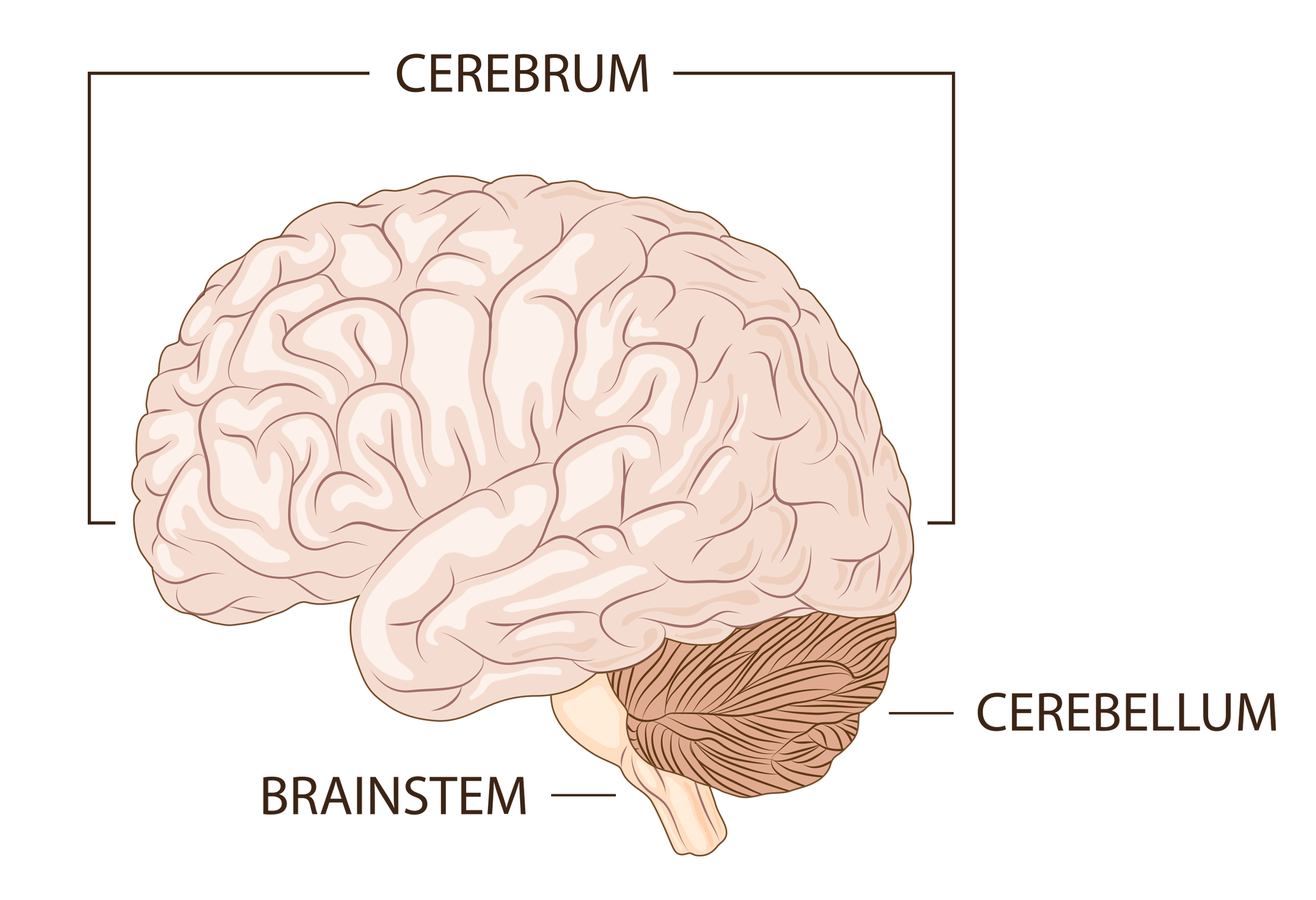 main_areas_of_the_brain